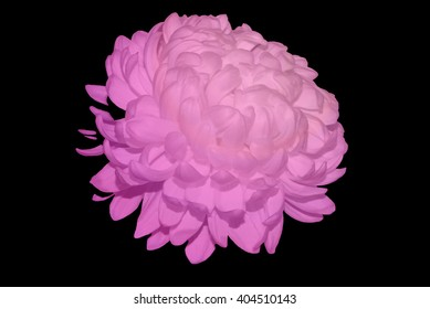 White Chrysanthemum Touched By Purple Light 3.