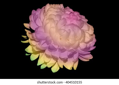 White Chrysanthemum Touched By Rainbow-Colored Light 4.
