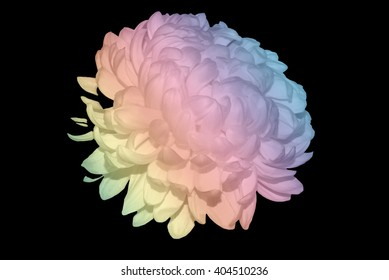 White Chrysanthemum Touched By Rainbow-Colored Light 1.