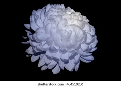 White Chrysanthemum Touched By Soft Blue Light 2.