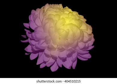 White Chrysanthemum Touched By Yellow And Purple Light 1.