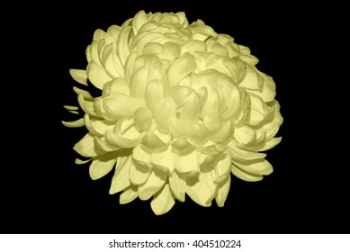 White Chrysanthemum Touched By Yellow Light 1.