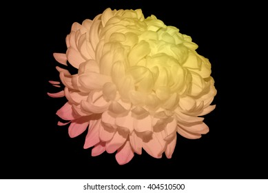 White Chrysanthemum Touched By Yellow, Orange And Red Light 1.