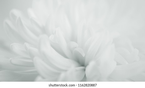white chrysanthemums in blurred style for spa , wedding and cosmetic concept background
