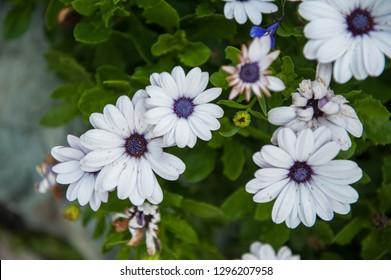 White chrysanthemums flower closeup on green background