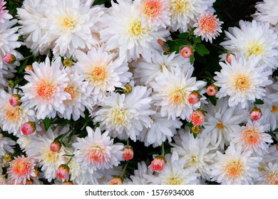 White chrysanthemums in nursery and garden shop. Chrysanthemum wallpaper and decoration. Blooming background. Close up.