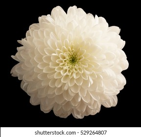 white chrysanthemums on a black background