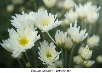 White Chrysanthemums and yellow center with a faded nature background. They are also called mums or chrysanths and are flowering plants of the genus Chrysanthemum in the family Asteraceae.