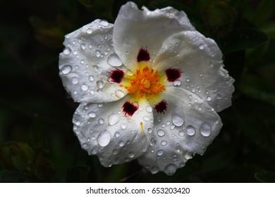 White cistus flower
