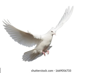 white clean dove flies isolated on white