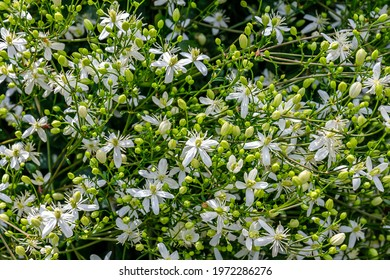 White Clematis flammula fragrant flowers, in summer garden. Many white blooms of Clematis fragrant virgin's bower