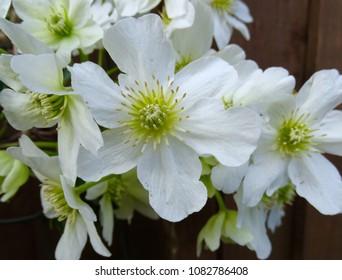 White clematis flower