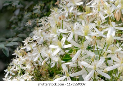 White clematis on creek trail