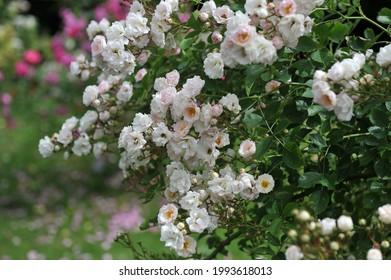White climbing Hybrid Wichurana rose (Rosa) Frau A. von Brauer blooms in a garden in June - Shutterstock ID 1993618013