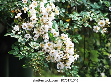 White climbing rose blooming in springtime
