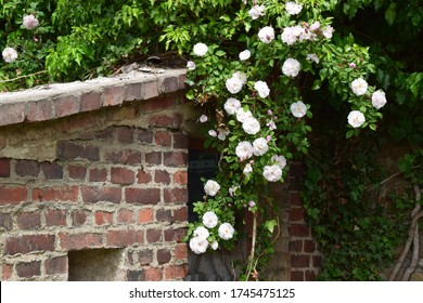 White climbing rose overgrows an old red brick wall