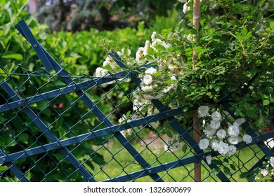 white climbing roses on a fence