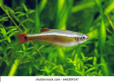 White Cloud Mountain minnow.