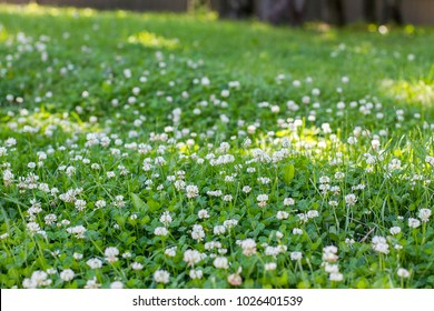 White clover among green grass in the sunny park in the summer