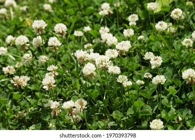 White clover blooming in the fields of early summer in Japan