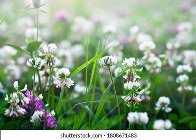 White clover flowers in the fog. Wildflowers and grass in a misty haze on a cloudy morning. Plants.
