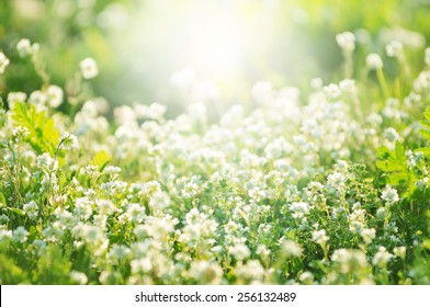 white clover flowers in spring, shallow depth of field