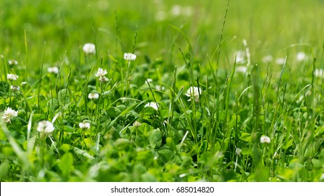 White clover in the green grass. Ratio 16:9. Fresh summer or spring background.
