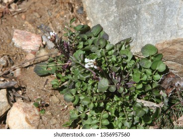 white clover with green leaves rock and dirt