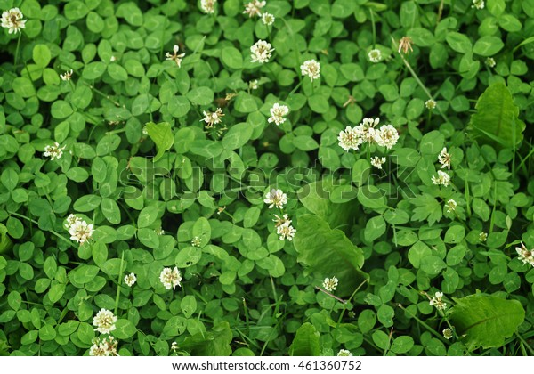 white clover on the meadow in summer day