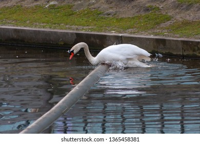 white clumsy swan trying to get over a swimming barrier in a lake