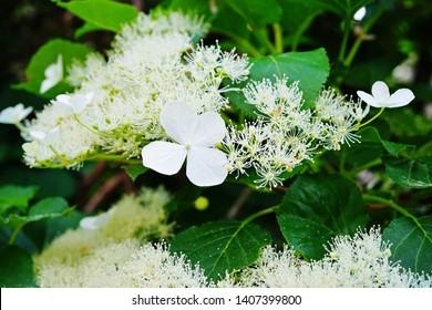 White clusters of climbing hydrangea flowers (hortensia anomala petiolaris)