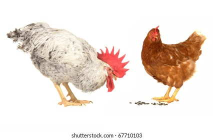 white cock and brown hen on a white background