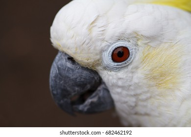 White white cockatoo close-up. An exotic Australian bird looks at the viewer.