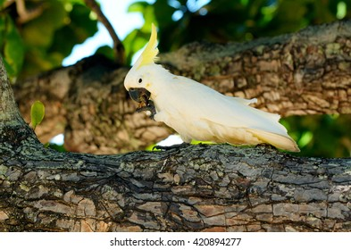 White cockatoo eat on a tree branch in Port Douglas in the tropical north of Queensland , Australia.