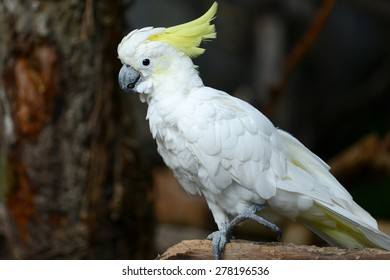 White Cockatoo Parrot bird with yellow crest