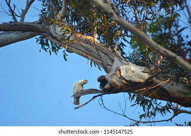 A white cockatoo is sitting on a branch while another can be seen inside the hollow of a branch of a eucalyptus tree. They are surrounded by green leaves, and the sky is blue.