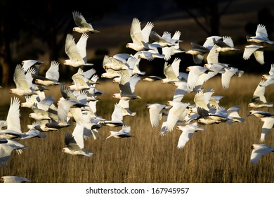 White Cockatoos in flight