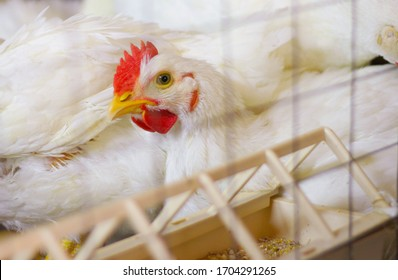A white cockerel sits at a poultry farm in a cage near the feeder