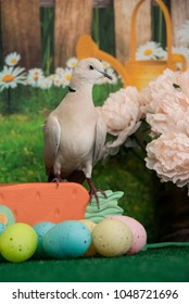 White collared dove closeup with colored Easter eggs and spring flowers