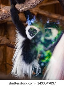 White colombus monkey posing behind a window