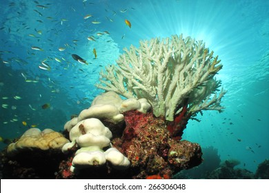 White color of hard corals is coral bleaching. The main cause of coral bleaching is heat stress resulting from high sea temperatures.