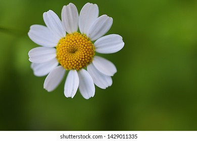 White color Oxeye daisy also know as common daisy