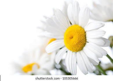 White Colored Daisy Isolated on White Background