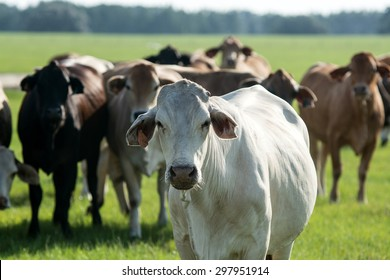 White commercial Brahman-cross cow with horn flies with herd mates out-of-focus in the background standing in a pasture.