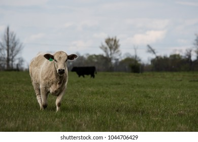 White commercial heifer in a spring pasture with another black heifer out of focus in the background. Blank area to the right for copy.