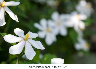 White common gardenia flower in front of blurred flowers