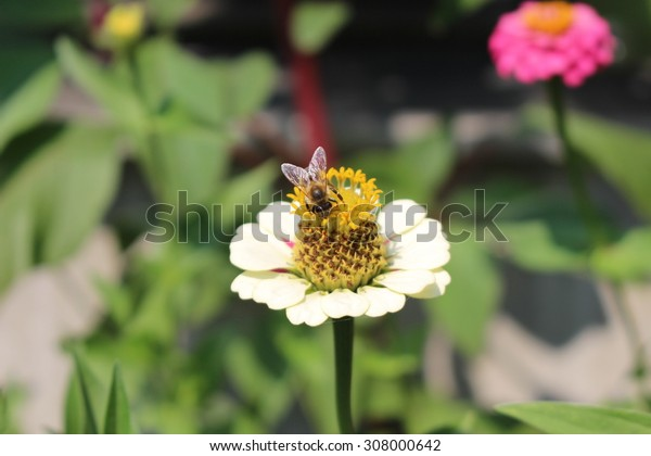 "White ""Common Zinnia"" flower (or Elegant Zinnia, Youth-and-old-age) with a bee in Innsbruck, Austria. Its scientific name is Zinnia Elegans, native to Mexico."