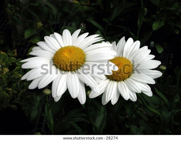 White Cone Flowers