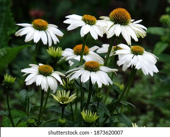 white cone flowers in garden echinacea