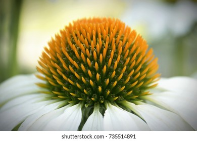 White Coneflower Close Up